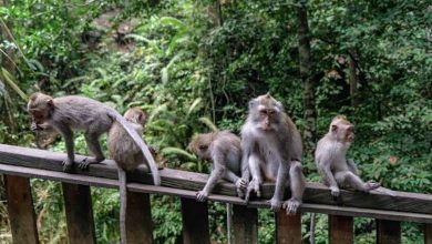 Photo of Pilot Project, Monkey Forest Batasi Kapasitas Tamu Maksimal 2.000 Wisatawan
