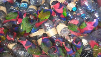 Photo of Diselundupkan, 10 Ekor Burung Kasturi Kepala Hitam Mati