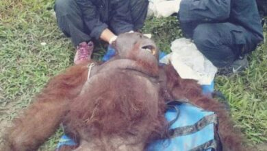 Photo of BKSDA Selamatkan Orangutan di Sampit