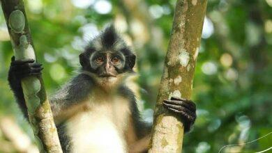 Photo of Kedih, Primata Unik dari Sumatera