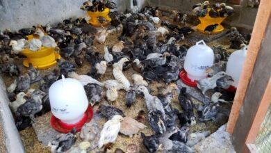 Photo of Ayam Caru Termurah di Bali, Ravaya Farm Solusinya